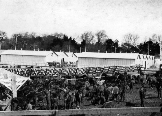 Des dizaines de mulets sont parqués dans les écuries improvisées au niveau du casino de Saint-Nazaire servant de dépôt au service de remonte américain pendant la Première Guerre mondiale.